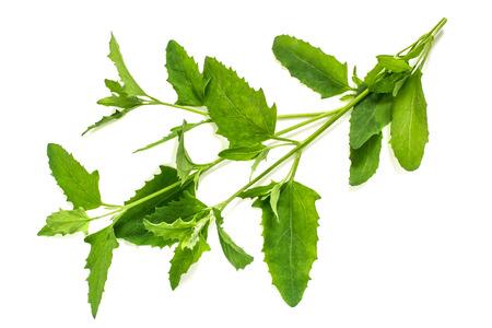 Geneeskrachtige plant Atriplex (Saltbush, Orache) op een witte achtergrond. Gebruikt in kruidengeneeskunde, koken, voedsel voor dieren, om erosie te voorkomen