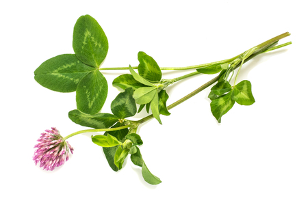 animal feed: Medicinal plant Red clover (Trifolium pratense) on a white background. Used in herbal medicine, cooking, to animal feed, honey plant