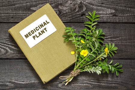 diuretic: Medicinal plant Silverweed (Potentilla anserine or Argentina anserina) and herbalist handbook. Used in herbal medicine, bee plant