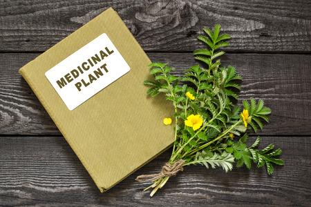 herbalist: planta medicinal Silverweed (Potentilla anserina o Argentina anserina) y el manual de herbolario. Se utiliza en la medicina natural, la planta de abeja