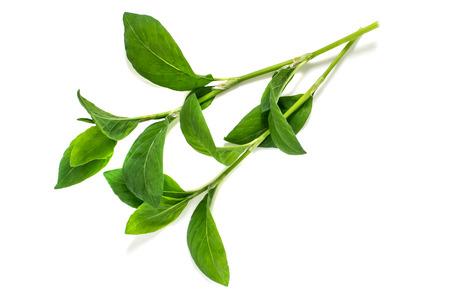 Geneeskrachtige plant Polygonum aviculare of gewone knotgrass (prostrate knotweed, birdweed, pigweed en lowgrass) op een witte achtergrond. Gebruikt in kruidengeneeskunde, koken, voedsel voor dieren