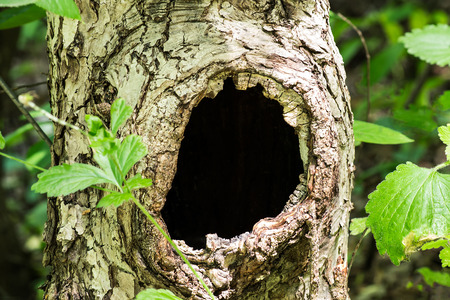 hollow tree: Large hollow tree on a background of green foliage. Serves nest for birds and shelter for animals. Selective focus, shallow depth of field