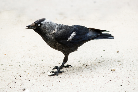 jackdaw: Jackdaw (Corvus monedula) standing on the pavement in town. Shallow depth of field