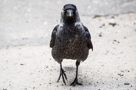 fullface: Jackdaw (Corvus monedula) is full-face on the pavement in town. Shallow depth of field Stock Photo