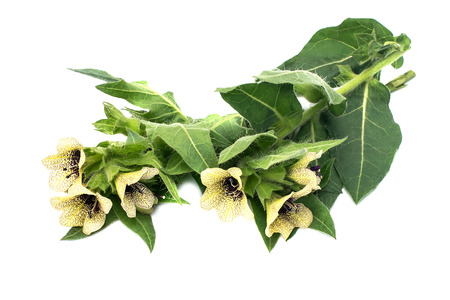 antispasmodic: Poisonous plant henbane black (Hyoscyamus niger) isolated on white. In herbal medicine is used as a medicinal plant
