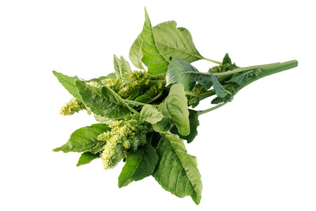 amaranthus: Redroot pigweed (Amaranthus retroflexus) also called red-root amaranth, red-rooted pigweed, common amaranth, pigweed amaranth, common tumbleweed isolated on white background. Used in herbal medicine, healthy eating
