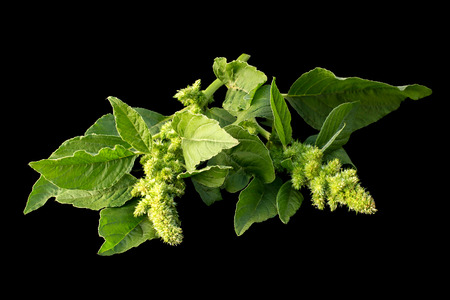 amaranthus: Redroot pigweed (Amaranthus retroflexus) also called red-root amaranth, red-rooted pigweed, common amaranth, pigweed amaranth, common tumbleweed isolated on black background. Used in herbal medicine, healthy eating Stock Photo