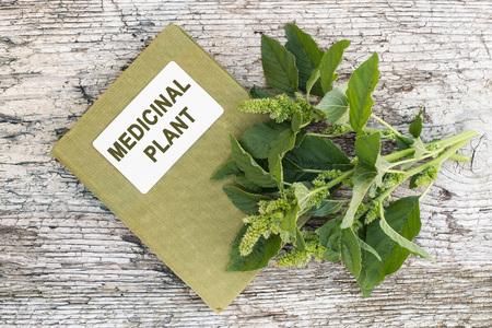 herbolaria: yuyo colorado (Amaranthus retroflexus), también llamado el amaranto rojo-raíz, bledo rojo arraigado, amaranto común, amaranto bledo, planta rodadora común y manual de herbolario en la vieja mesa de madera. Se utiliza en la medicina natural, la alimentación saludable