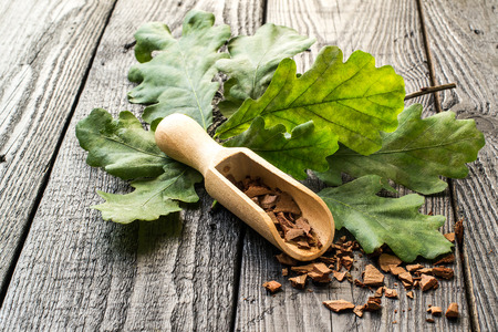Medicinal plant oak (Quercus). Branch and oak bark in a scoop on a dark wooden table. In herbal medicine used the bark, leaves and acorns. Acorns are used as a substitute for coffee. Selective focus Stock Photo