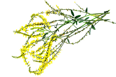 antispasmodic: Melilotus officinalis, known as yellow sweet clover, yellow melilot, ribbed melilot and common melilot isolated on white background. Used in herbal medicine, as well as pasture or livestock feed, is a major source of nectar Stock Photo