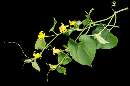 cucurbitaceae: Thladiantha dubia, or Manchu tubergourd, goldencreeper, wild potato isolated on a black background. Use as an ornamental plant of the Cucurbitaceae family, as a medicinal herb in Chinese medicine