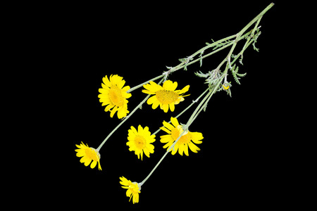synonym: Cota tinctoria synonym Anthemis tinctoria (golden marguerite, yellow chamomile, oxeye chamomile) isolated on a black background. Used in herbal medicine and for the production of yellow dyes Stock Photo