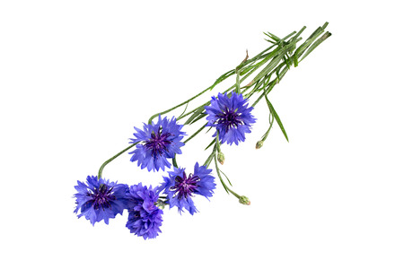Medicinal plant Centaurea cyanus, commonly known as cornflower isolated on a white background