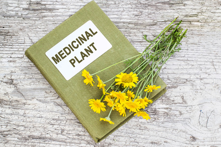 synonym: Cota tinctoria synonym Anthemis tinctoria (golden marguerite, yellow chamomile, oxeye chamomile) and herbalist handbook on old table. Used in herbal medicine and for the production of yellow dyes
