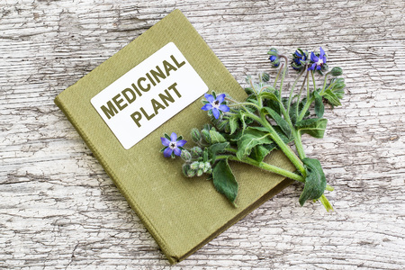 enveloping: Medicinal plant borage (Borago officinalis), also known as a starflower and herbalist handbook. Used in herbal medicine, healthy eating, oil from the seeds is done for cosmetic purposes Stock Photo