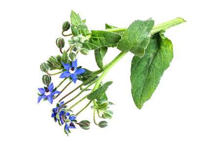 enveloping: Medicinal plant borage (Borago officinalis), also known as a starflower isolated on a white background. Used in herbal medicine, healthy eating, oil from the seeds is done for cosmetic purposes Stock Photo