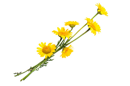 synonym: Cota tinctoria synonym Anthemis tinctoria (golden marguerite, yellow chamomile, oxeye chamomile) isolated on a white background. Used in herbal medicine and for the production of yellow dyes