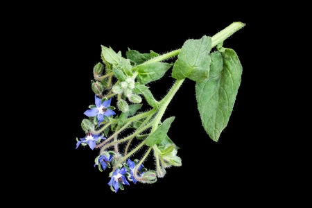 enveloping: Medicinal plant borage (Borago officinalis), also known as a starflower isolated on a black background. Used in herbal medicine, healthy eating, oil from the seeds is done for cosmetic purposes