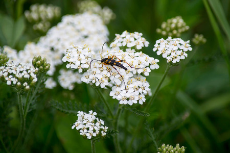 synonym: Insect Strangalia attenuata (synonym Leptura attenuate) close-up on yarrow flowers. Selective focus, shallow depth of field