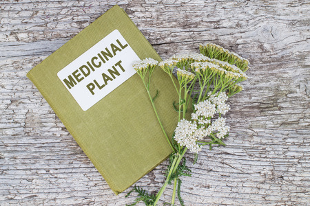 herbolaria: Medicinal plant yarrow (achillea millefolium) and herbalist handbook on old wooden table. Yarrow - a popular means of treatment in herbal medicine, has anti-inflammatory and antiseptic properties Foto de archivo