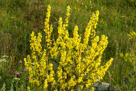 expectorant: Mullein (Verbascum) in a natural environment of growth. Plant is highly valued in herbal medicine, it is used in the form of infusions, decoctions, ointments, oils. Selective focus, shallow DOF