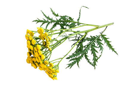 Medicinal plant tansy (Tanacetum vulgare) isolated on a white background. It is used in herbal medicine, pharmaceutical, food and chemical industry