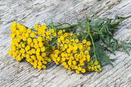 Medicinal plant tansy (Tanacetum vulgare) on old wooden table. It is used in herbal medicine, pharmaceutical, food and chemical industry Stock Photo