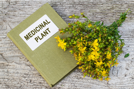 herbolaria: Medicinal plant St. Johns wort (Hypericum) and herbalist handbook on old wooden table. Actively used in herbal medicine, excellent bee plant