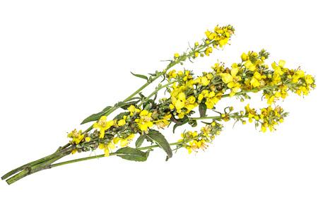 Mullein, ook bekend als fluweel plant (Verbascum) geïsoleerd op een witte achtergrond. De plant wordt zeer gewaardeerd in de kruidengeneeskunde, het wordt gebruikt in de vorm van infusies, afkooksels, zalven, oliën