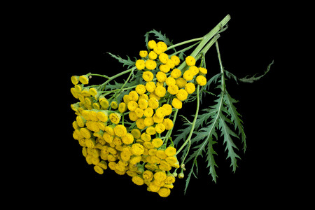 Medicinal plant tansy (Tanacetum vulgare) isolated on a black background. It is used in herbal medicine, pharmaceutical, food and chemical industry