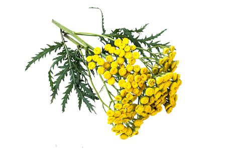 diuretic: Medicinal plant tansy (Tanacetum vulgare) isolated on a white background. It is used in herbal medicine, pharmaceutical, food and chemical industry