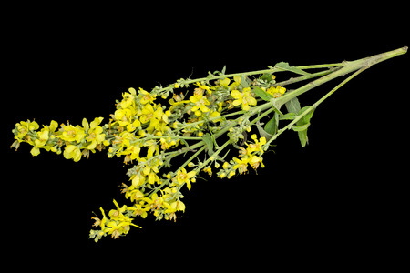 Mullein, also known as velvet plant (Verbascum) isolated on a black background. Plant is highly valued in herbal medicine, it is used in the form of infusions, decoctions, ointments, oils Stock Photo