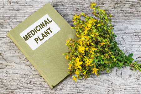 antirheumatic: Medicinal plant St. Johns wort (Hypericum) and herbalist handbook on old wooden table. Actively used in herbal medicine, excellent bee plant