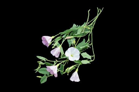 convolvulus: Medicinal plant field bindweed (Convolvulus arvensis) isolated on a black background. Used in herbal medicine, honey plant Stock Photo
