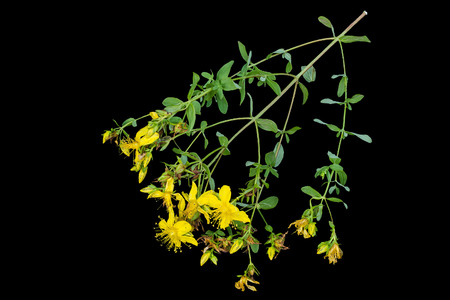 antirheumatic: Medicinal plant St. Johns wort (Hypericum) isolated on a black background. Actively used in herbal medicine, excellent bee plant Stock Photo