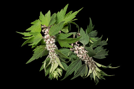 Motherwort (Leonurus cardiaca) isolated on black background. Other names: throw-wort, lions ear, and lions tail. Used in herbal medicine, it is a valuable honey plant