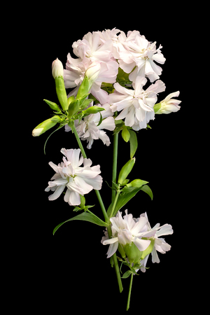 Medicinal plant Saponaria officinalis (common soapwort, bouncing-bet, crow soap, wild sweet William, soapweed) isolated on black background. Used in herbal medicine, food and chemical industry
