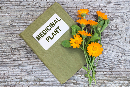 actively: Medicinal plant calendula and herbalist handbook on old wooden table. Actively used in herbal medicine, cosmetics, healthy nutrition Stock Photo
