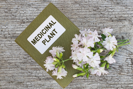 herbolaria: Medicinal plant Saponaria officinalis also known as common soapwort, bouncing-bet, crow soap, wild sweet William, soapweed. and herbalist handbook. Used in herbal medicine, food and chemical industry Foto de archivo