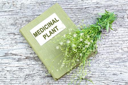 herbolaria: planta medicinal Stellaria holostea (addersmeat o mayor stitchwort) y el manual de herbolario en la vieja mesa de madera. En la medicina a base de hierbas a menudo se usa tópicamente, con precaución para uso interno, tóxico