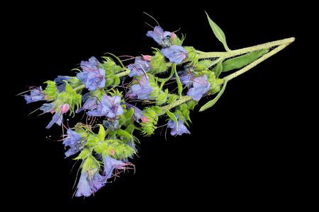 Medicinal plant Echium vulgare (vipers bugloss and blueweed) isolated on a black background. It is used in herbal medicine, good honey plant