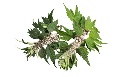 neurosis: Motherwort (Leonurus cardiaca) isolated on a white background. Other names: throw-wort, lions ear, and lions tail. Used in herbal medicine, it is a valuable honey plant Stock Photo