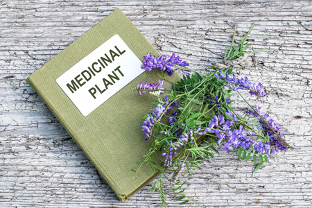 boreal: Medicinal plant Vicia cracca (tufted vetch, cow vetch, bird vetch, blue vetch, boreal vetch) and herbalist handbook on old wooden table. It is used in herbal medicine, livestock feed, good honey plant