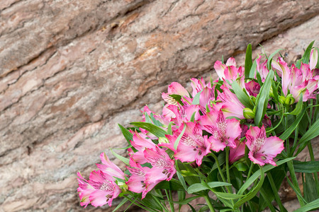 Bright colorful spring background of pink alstroemeria on the background pine wall with bark. Original background for holiday cards for Valentines Day, Mothers Day with space for text