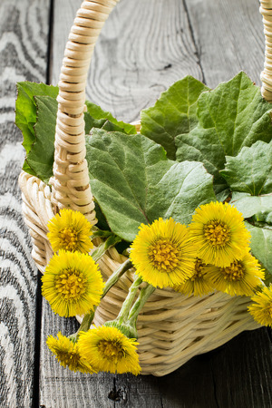Medicinal plant coltsfoot (Tussilago farfara). The leaves and flowers in a basket on an old wooden table. Vertical