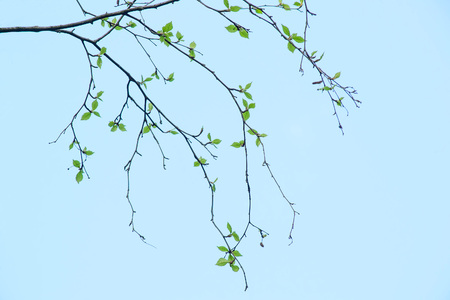 Spring natural background with young birch leaves. Branches of birch on the background of clear blue sky. Spring day. Beginning of new life Lizenzfreie Bilder