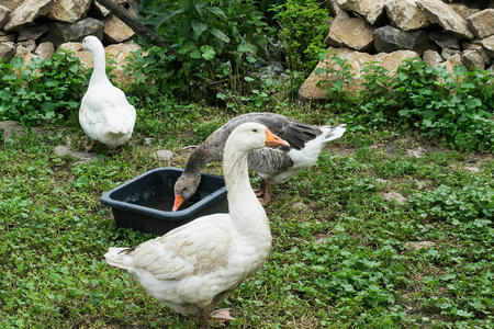 Domestic geese on village goose farm outdoors. Geese graze on grass, drink water Stock Photo