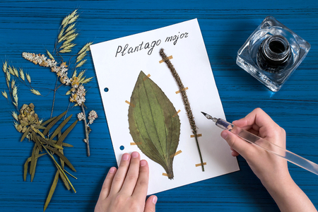 plantain herb: Girl makes herbarium of medicinal plants. Girl writes latin name on sheet with dry plant of plantain (Plantago major). An old pen with ink is used. Concept of education and alternative medicine Stock Photo