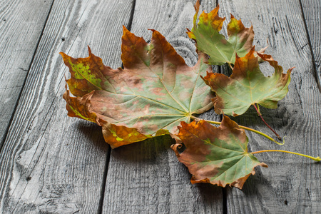 wilting: Dry damaged maple leaves on old dark table in autumn. Seasonal changes. Mood of sadness and wilting