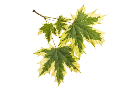 Maple leaves (Acer platanoides Drummondii) with original coloring isolated on white background. Most famous and spectacular of variegated forms of maple Stock Photo
